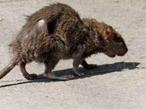 ratto-2